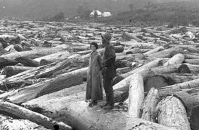 Kauri destruction