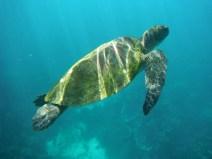 Green sea turtle (Ningaloo reef, WA)