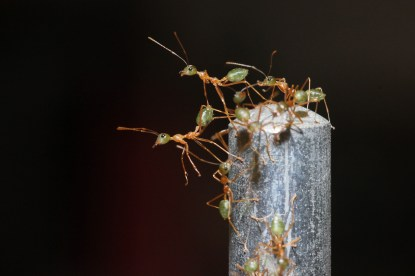 Weaver ants (Townsville, QLD)