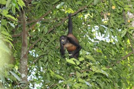 Spider monkey (Panama)