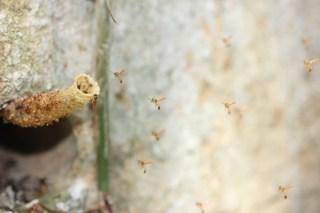 Stingless bees (Panama)