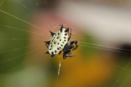 Shiny Orb-weaver spider (Panama)