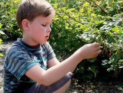 Boy picking berries - CC0 Creative Commons license