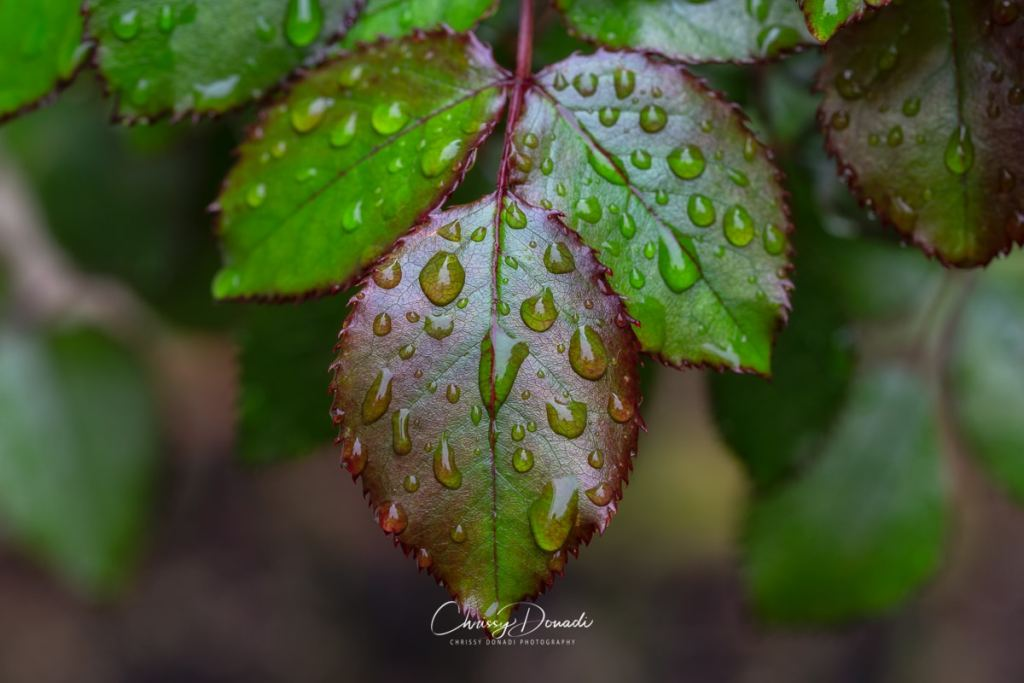 A trio of dew-soaked rose leaves