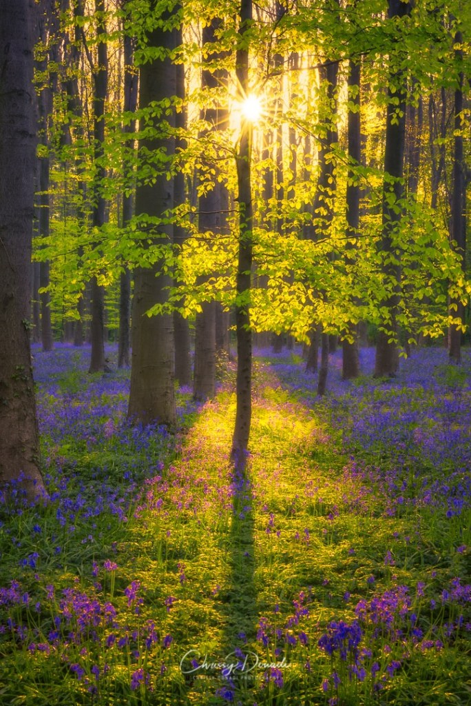 The wild hyacinth bluebells fill the forest floor as the sun bursts through the trees