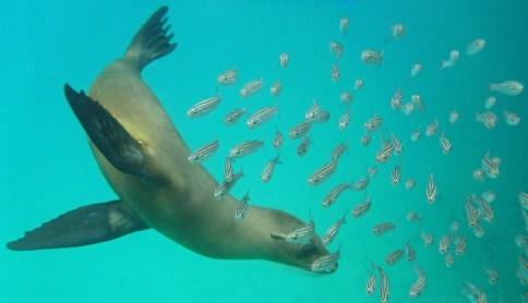 Chris Tarzan Clemens - Galapagos Sea Lion