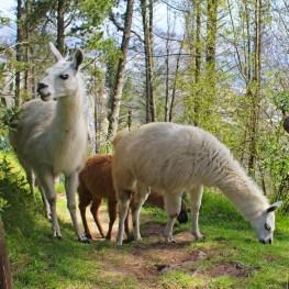 Chris Tarzan Clemens - Llamas in Ecuador