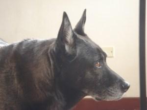 Christa Wojo's dog Roscoe Lab/akita mix