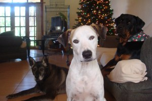 Christa Wojo's dog children at Christmas time.