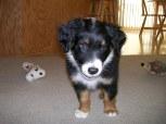 Winsten Aussie Black Tri Puppy (19)
