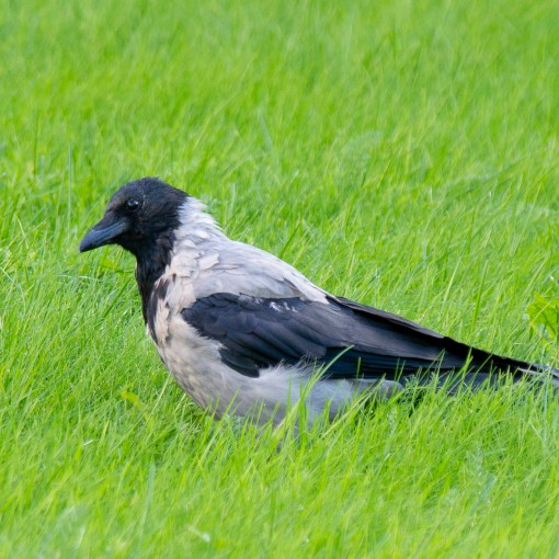 The old crow in the grass