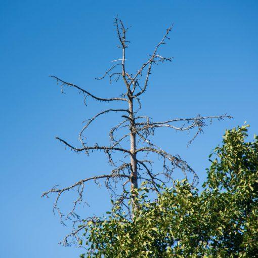 Gammalt träd på Järvafältet