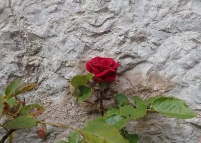 Rose in Assisi