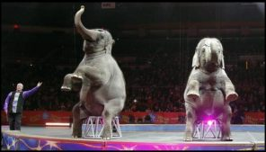 Asian elephants perform for the final time in the Ringling Bros. and Barnum & Bailey Circus on May 1 in Providence, R.I. (Bill Sikes/Associated Press).
