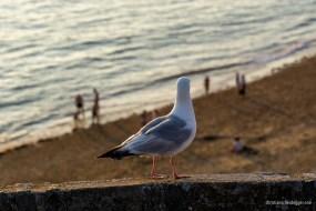 Saint-Malo Seagull