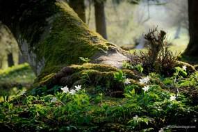 Baumstrunk mit weissen Blüten
