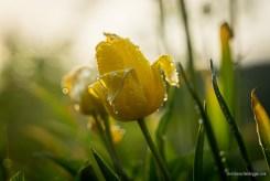Gelbe Tulpe mit frischen Wassertropfen
