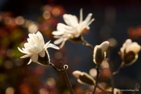 Weisse Magnolienblüten