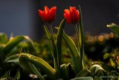 rotes Tulpenpaar