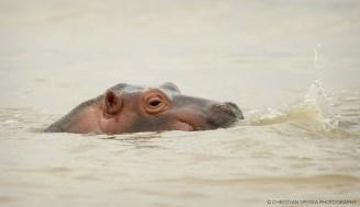 Baby Hippo