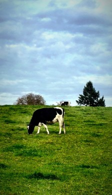 Cows on a Field, Germany