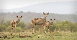 Kudu along the shore