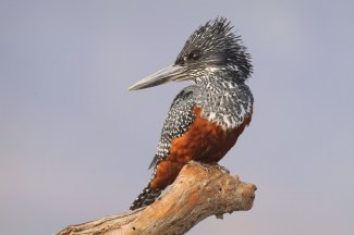 Giant Kingfisher (C) Christian Sperka Photography