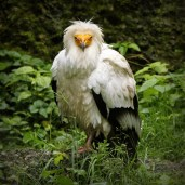 Egyptian Vulture @ Zurich Zoo