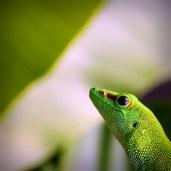 Giant Day Gecko @ Zurich Zoo
