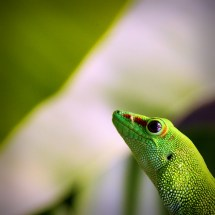 Giant Day Gecko @ Zurich Zoo