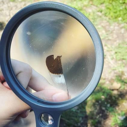 magnifyingglass_dragonflywing