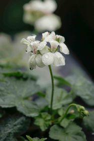 hvid-gul pelagonie (12 of 1)