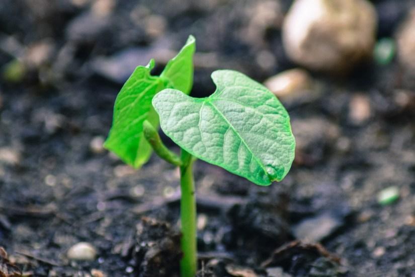 bean-plant-2348098_1920