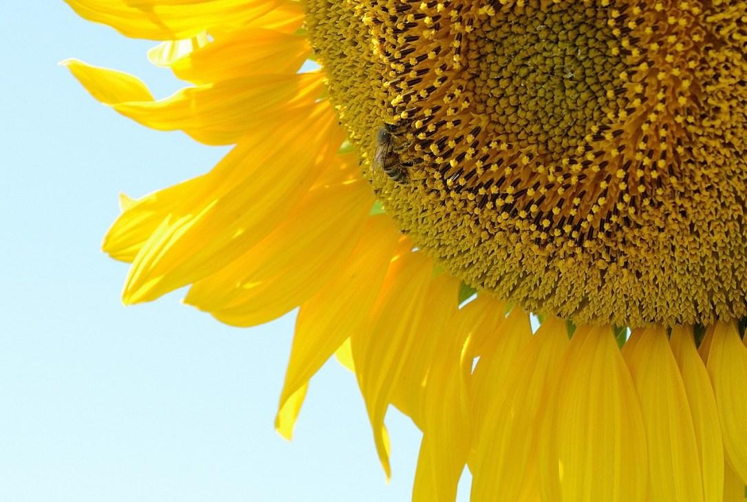 sunflower_bee-3206644_1280