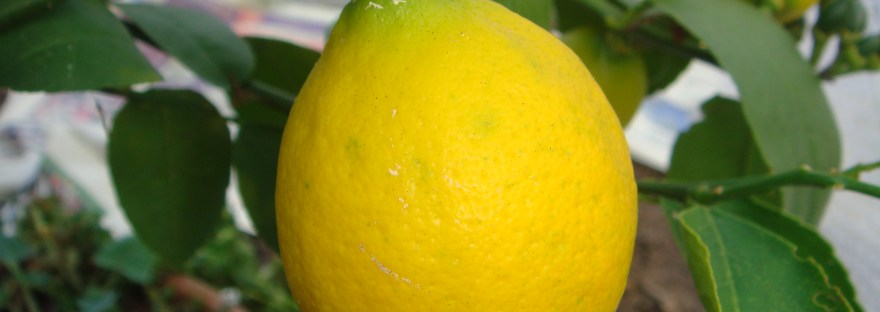 A ripe lemon