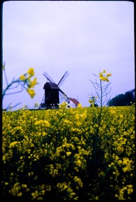 Flowering rapefield with windmill in Scania, Sweden.