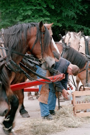 Draft horses on Visingsö.
