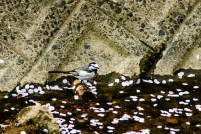 Wagtail in Nagoya canal.