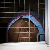 Some get tired of all the visitors on Open day in the trainer's stables in Newmarket.