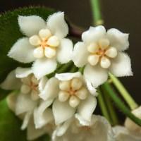 Hoya sp. New Guinea Biakensis
