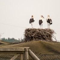 Storkprojektet / The stork project