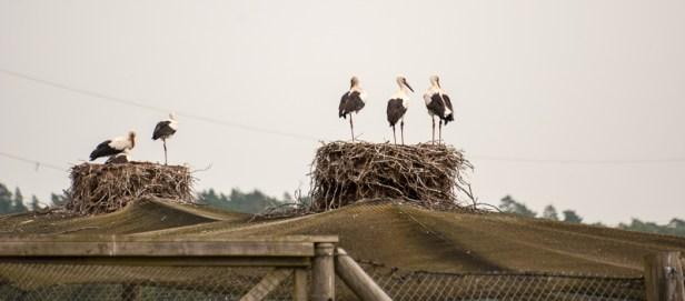 Vilda storkungar på bon ovanpå hägnet. / Wild young storks on the top of the aviary.