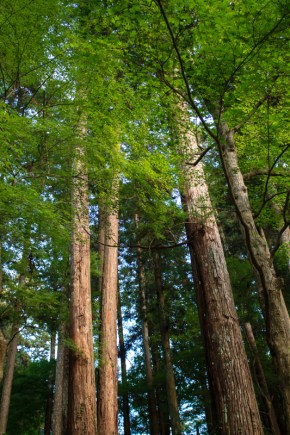 High trees in Korankei valley,