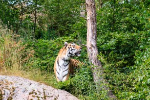 A siberian tiger in the zoo Nordens Ark.