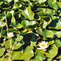 Water lilies in Asmundtorp