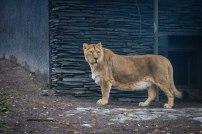 A lion in Korkeasaari zoo in Helsinki in November.