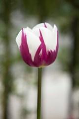 tulip10Apr2015_0072