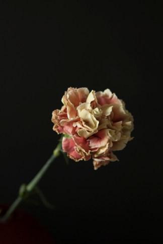 carnation18Sep2015_0042