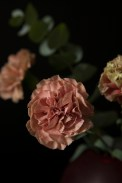 carnations18Sep2015_0026