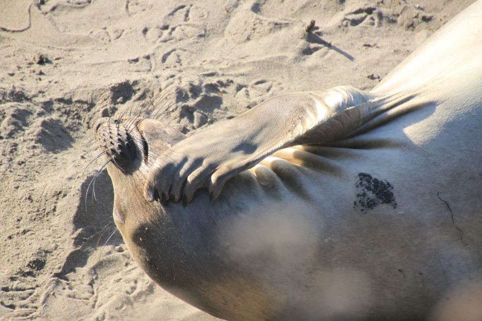A female elephant seal, scratching her chin.